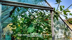 Greenhouse - Tomato plants with fruit & flowers seen from outside 24th August 2016 002 (D@viD_2.011) Tags: greenhouse tomatoes cucumber august 2016