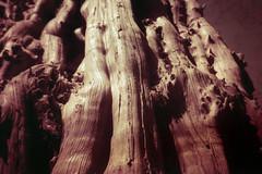 Studley Royal Dead Tree (pho-Tony) Tags: redscale olympusxa4 agfa vista iso 200 poundland tetenal c41 35mm analogue olympus xa4 film xa ishootfilm filmisnotdead zuiko 28mm macro wide angle wideangle clamshell clam shell slide