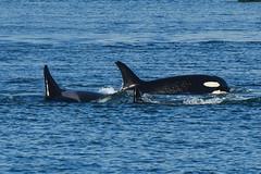 J Pod (Jennifer Stuber) Tags: seattle washington sanjuanislands sanjuan friday harbor orca killer whale orque killerwhale southernresidentorcas southernresidentkillerwhales srkw