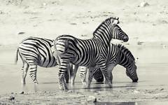 Watchful (philnewton928) Tags: burchellszebra zebra zebras equusquaggaburchellii mammal animal animalplanet wild wildlife nature natural biyamiti kruger krugernationalpark africa southafrica outdoor outdoors safari nikon nikond7200 d7200 stripes blackandwhite blackwhite monochrome bw