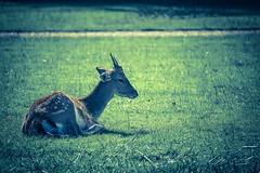 Sitting Deer (Nomis.) Tags: canon eos 700d t5i rebel canon700d canoneos700d rebelt5i canonrebelt5i sk201609190792editlr sk201609190792 dunhammassey dunham massey cheshire deer grass green sitting animal wildlife park deerpark pathway path lying young