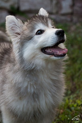 Puppy Love (glank27) Tags: malamute dog puppy husky karl glanville photography wildlife dogs canine k9 canon eos70d ef 70300mm f456l pet cute