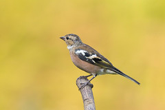 Chaffinch (Juvenile male) (Gary McHale) Tags: chaffinch juvenile male high batts