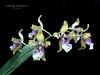 Oncidium (Odontoglossum ) wyattianum  par Denis M (cattlaelia) Tags: cattlaelia orchid orchidée oncidium odontoglossum