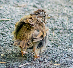 Nothing Good Happens Past 2 AM (Pauline Brock) Tags: simplyirresistibleflickrfriday bird sparrow moultingbird moltingbird feathers nature wildlife