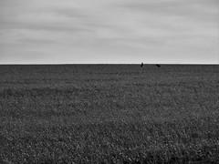 W;1 (96line) Tags: preto e branco pssaros birds campo interior rs rio grande do sul brasil monocromtico ao ar livre paisagem minimalismo