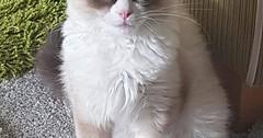 Gizmo our fluffy kitten via http://ift.tt/29KELz0 (dozhub) Tags: cat kitty kitten cute funny aww adorable cats
