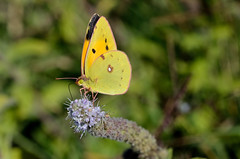 Colias crocea (Fabio Polimadei) Tags: butterfly lepidoptera insect macro closeup mariposa papillon wildlife nature schmetterling