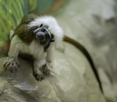 Cotton-headed Tamarin (Saguinus oedipus)_7 (guppiecat) Tags: saguinusoedipus cottonheadedtamarin