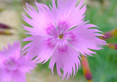 Dianthus (love_child_kyoto) Tags: pink autumn flower kyoto naturesfinest   apink masterphotos