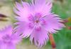 Dianthus (love_child_kyoto) Tags: pink autumn flower kyoto naturesfinest カワラナデシコ なでしこ apink masterphotos 撫子 大和撫子 マスター写真
