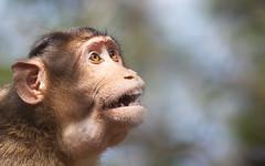 Monkey in Mahabaleshwar 5 - 5D3L6755edit (Swaranjeet) Tags: india nature fauna canon eos monkey is photos wildlife capital full frame indie 5d mahabaleshwar fullframe dslr mumbai financial 70200 f28 ef mmr 2012 sjs mkiii hindustan swaran sjsphotography 5dmkiii canonef70200f28lisiiusm swaranjeet eos5dmkiii canoneos5dmkiii swaranjeetsingh swaranjeetphotography sjsvision bharatvarsh