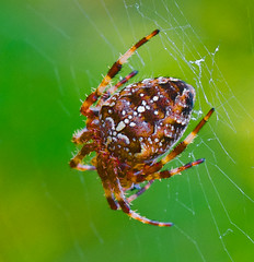 I'm just hanging around here. (Omygodtom) Tags: autumn macro green oregon digital bug season insect spider nikon bokeh web elite