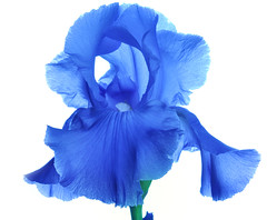 High Key Iris (Bill Gracey) Tags: blue iris flower color macro nature fleur petals colorful purple flor violet whitebackground glowing highkey luminous backlighting macrolens macrophotography offcameraflash speedlights rebloomer yongnuoyn560 scottrobertstudiocom tinytriggers yongnupyn560ii