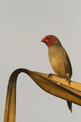 One of our beautiful Crimson Finches  (Neochmia phaeton)down at Holmes Jungle (jonclark2000) Tags: bird nt australia northernterritory holmesjungle crimsonfinches neochmiaphaeton
