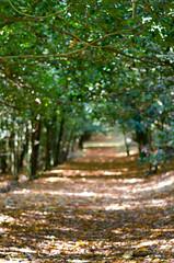 Lonely path (Jokermanssx) Tags: sardegna autumn path sentiero autunno taxus viale sardinya bolotana villapiercy tassosecolare forestabaddesalighes riccardodeiana