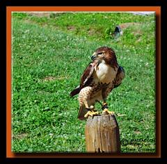 Photo 174 544 (Alain Crosnier) Tags: bird geotagged hawk oiseau birdofprey parcomega pervier oiseaudeproie alaincrosnier imageaccom geon4540942w7456770