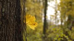 Autumn (Raphael Coriasco_GF2) Tags: autumn france color forest automne lumix olympus panasonic f18 18 foret 45mm couleur fort vaureal vaural gf2 olympus45mm