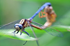 Orthetrum luzonicum mating pair (Nomadic-Imagery) Tags: blue male female insect wings dragonflies dragonfly insects mating mates compoundeyes marshhawk
