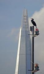 A Cormorant Eyes A New Perch (CrowMDF) Tags: november london thames cormorant shard 2012
