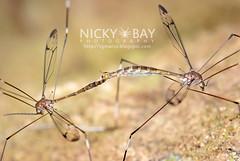 Crane Flies (Tipulidae) - DSC_4614 (nickybay) Tags: macro fly singapore crane mating tipulidae admiraltypark