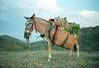 _ (Lima Araujo) Tags: brazil film brasil nikon minas gerais lima banana burro fernando epson jumento serra portra tropa fm2 ouro mula carga jegue fernandolima v500