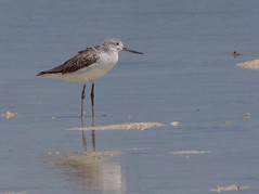 Common Greenshank (Tringa nebularia) - Olango Island Wildlife Sanctuary, Cebu, Philippines - March 08, 2012 (quetzal66) Tags: nature birds philippines cebu commongreenshank