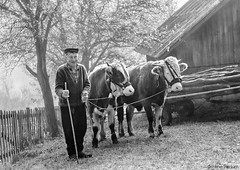 Man with Oxen (Irene Becker) Tags: morning autumn trees bw fall nature fog forest woods village serbia portraiture tradition oxen autumnfog balkan taramountain centralserbia volovi workingpeole taranationalpark taranacionalnipark заовине novavezanja manwithoxen
