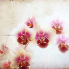 truth (silviaON) Tags: november orchid flower textured 2012 memoriesbook floralessence bsactions preeerica oracope magicunicornverybest dyrkwysttexture pixelloungesoftaction