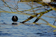 Coot 1 (Phil Everett Photography) Tags: lake birds branch coot wetland aquadrome wildlfe