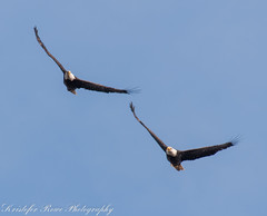 Eagles approaching 2 (krisinct- Thanks for 2K followers and 9 Million Vi) Tags: nikon eagle pair flight 200 500 tamron d300
