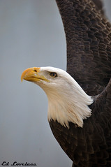 American Eagle (The Lovelace Photography) Tags: thewonderfulworldofbirds rememberthatmomentlevel1 rememberthatmomentlevel2 bestevercompetitiongroup me2youphotographylevel1