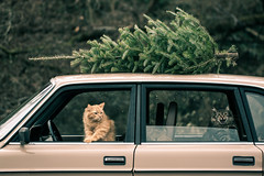 Puddy & Merlin (Kilkennycat) Tags: christmas cats tree car canon vintage volvo funny holidays kitty kitties meow 240 244 500d kilkennycat t1i ryanconners 100mm28l
