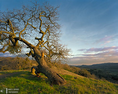 Fallen Oak at Sunset (James L. Snyder) Tags: california ranch park old winter sunset orange usa foothills painterly tree green grass yellow horizontal clouds last rural forest oak quercus afternoon view native bare branches country hill tan restful violet sanjose peaceful bluesky ridge trail bark valley fallen bayarea trunk vista lone mistletoe late lonely february melancholy deciduous pastoral grassland 2008 solitary leaning tranquil slope hollow hilltop gnarled parasite clearing bucolic dormant santaclaracounty countypark magiclight declining diablorange josephgrantcountypark distantmountains hallsvalley phoradendronvillosum artistslight treesonhills loshuecostrail