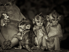 Monkey Forest II (*rainbowgirl*) Tags: travel wild blackandwhite bw bali animals indonesia asia monkeys apes monkeyforest dr apar svarthvtt heimsreisa