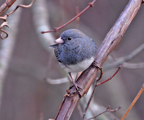 Pretty Junco!!!