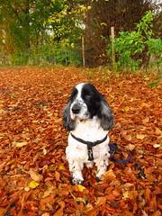 Vinny leaps into Autumn (ambo333) Tags: uk autumn england dog cumbria cocker cockerspaniel autumnal vinny vinnie brampton olibondvinniejones olibond olibondspaniels olibondcockers olibondcocker