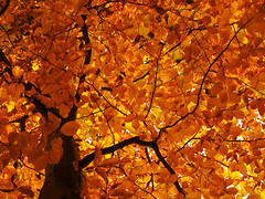 Leaf Canopy in Fall (Batikart) Tags: park autumn light sunset orange plants brown sunlight plant black tree art fall nature colors leaves yellow backlight rural forest canon germany season geotagged outdoors deutschland golden leaf flora europa europe day stuttgart pov branches herbst natur perspective tranquility sunny romance foliage textures growth fairy trunk environment recreation deciduous relaxation ursula blatt tones wald blätter 500faves baum enjoyment variation beech 2012 gegenlicht sander g11 buche rotenberg badenwürttemberg swabian beautyinnature 200faves viewonblack 300faves 400faves batikart canonpowershotg11