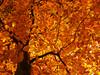 Leaf Canopy in Fall (Batikart) Tags: park autumn light sunset orange plants brown sunlight plant black tree art fall nature colors leaves yellow backlight rural forest canon germany season geotagged outdoors deutschland golden leaf flora europa europe day stuttgart pov branches herbst natur perspective tranquility sunny romance foliage textures growth fairy trunk environment recreation deciduous relaxation ursula blatt tones wald blätter 500faves baum enjoyment variation beech 2012 gegenlicht sander g11 buche rotenberg badenwürttemberg swabian beautyinnature 200faves viewonblack 300faves 400faves batikart canonpowershotg11