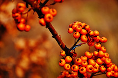 In Winter (Tinina67) Tags: winter orange plant berry small tina shrub thorn odc sanddorn ourdailychallenge tinina67