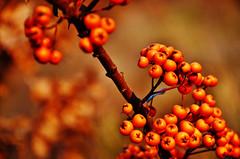 In Winter (Tinina67) Tags: winter orange plant berry small tina shrub thorn odc sanddorn ourdailychallenge tinina67