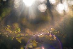 Rayon Paradoxal (Chris Dve) Tags: chris france tree nature backlight plante soleil bokeh lumire vert reflet flare fullframe rayon paysage arbre deve fort contrejour verdure feuille branche traitement 58mmf2 onirique dxofilmpack sonyalpha850 hlios44 chrisdve
