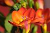 Friesia #8 - Explored! (David S Wilson) Tags: uk flowers england flower ely fens 2012 lightroom flowersplants nikon1 davidswilson nikonft1 micronikkor40mmf28lens adobelightroom4