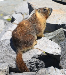 Yellow-bellied Marmot (Marmota flaviventris) near Mt Dana, Yosemite National Park, California (Damon Tighe) Tags: animal bellied ca california critter flaviventris marmot marmota national norcal nps park rodent wildlife yellow yellowbellied yosemite