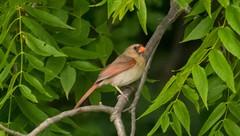 7K8A3874 (rpealit) Tags: scenery wildlife nature east hatchery alumni field hackettstown female northern cardinal bird