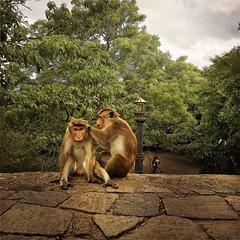 Hanuman #Hipstamatic #Jane #Irom2000 #dambula #srilanka #ceylon #budhism #temple #golden #hanuman #hindu #hinduism #monkeys #animals #life #nature #wildlife (Bruno Abreu) Tags: instagramapp square squareformat iphoneography uploaded:by=instagram