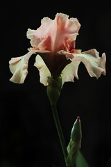 Iris (FlaviaDan) Tags: bothanical garden flower iris pink nature natur flickr photo picture photography photographers canon come see macro naturalistic black noir background cool like follow