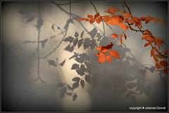 Sanftes Novemberlicht (Jolanda Donn) Tags: lichtundschatten sanfteslicht novemberlicht bltter herbst november november2015 canoneos70d 1112015