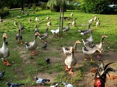 Geese walk (sandaodiatiu) Tags: birds lisbon estufafria botanicalgarden funny geese