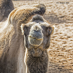 What are you looking at. (wolf 10) Tags: animals wildlife nature chesterzoo camel bactriancamel